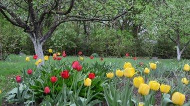 Tulips garden woman wet — Stock Video