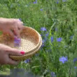 Stock Video: Hand pick cornflower herb