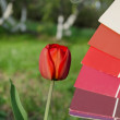 Red tulip compared with color card palette — Stock Photo
