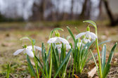 Spring flower snowdrop with green leaves in ground — Foto de Stock