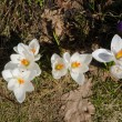 Close up of white crocuses bud in garden earth — Stock Photo #41347319
