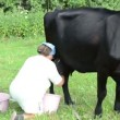 Stock Video: Wommilker milk cow
