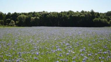 Cornflower field forest — Stock Video