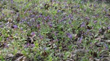 Lungwort flower herbal — Stock Video