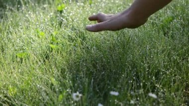 Hand dew grass water — Stock Video