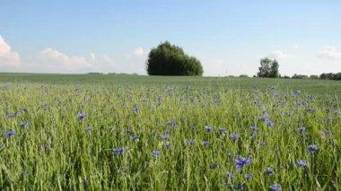 Cornflower field — Stock Video