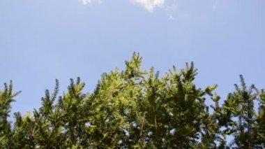 Yew bush branches sky — Stock Video