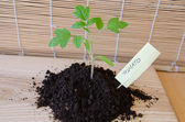 Tomato seedling grow in mound, card with citation — Stock Photo