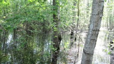 Birch trunk water — Stock Video