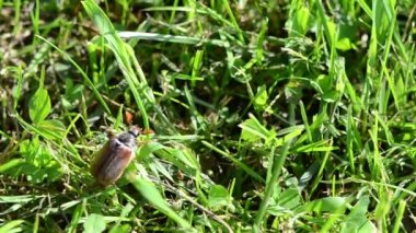 Beetle in grass — Stock Video