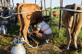 Farmer using new technologies in milking cows — Stock Photo