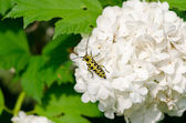 Snowball flower crawl black yellow coleopteran bug  — Stock Photo