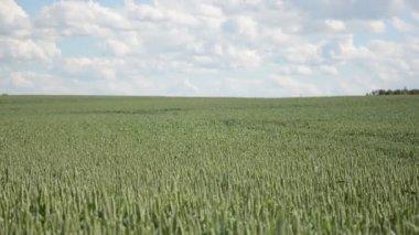 Wheat field swing wind — Stock Video