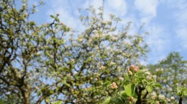 Apple tree twig bloom — Stock Video