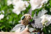 Bronze beetle cetonia aurata sits on white flower   — Stock Photo