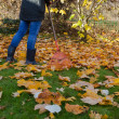 Worker rake autumn dry tuliptree leaves in garden — Stock Photo