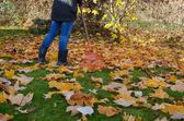 Worker rake autumn dry tuliptree leaves in garden — Stock Photo