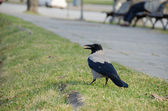 Big crow hold breadcrumbs in beak at city park  — Stock Photo