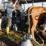 Farmers ryots couple milking cow animals in farm  — Stock Photo #47673505