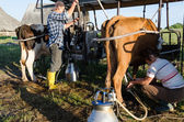 Farmers ryots couple milking cow animals in farm — Stock Photo
