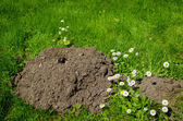 Mole and molehill in the garden white flower   — Stock Photo
