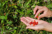 Hand palm gather pick wild strawberry in meadow  — Stock Photo