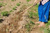Woman hoe mould soil zucchini seedlings  — Stock Photo