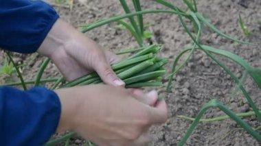 Фермер руку лук листья — Стоковое видео