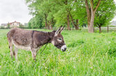 Cute wet donkey animal graze in pasture grass — Stock Photo