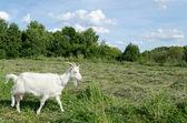 Meadow graze white goat nibble on grass  — Stock Photo
