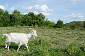 Meadow graze white goat nibble on grass  — Stock Photo