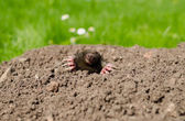 Mole snout and claws sticking out of the molehill  — Stock Photo