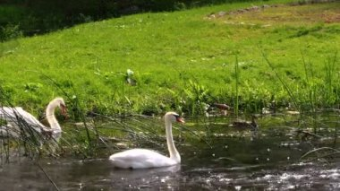 Swans pair. White birds swimming in river water — Stock Video