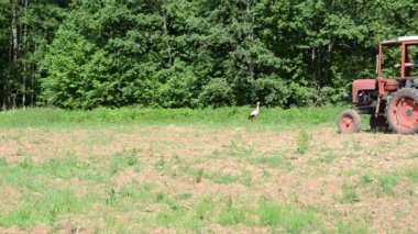Stork bird in agriculture field and tractor sow buckwheat seeds — Stock Video