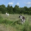 Meadow graze goat and small black white baby goatling — Stock Video #51251295