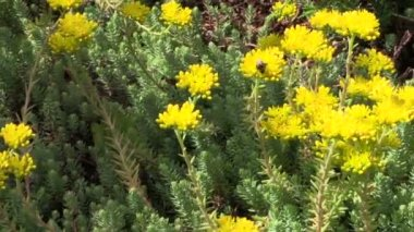 Yellow succulent orpin plant flower blooms in garden. Bumblebee — Stock Video