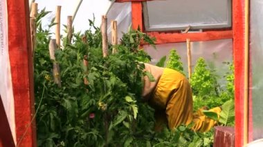 Person on knees care tomato plants in greenhouse hothouse — Stock Video