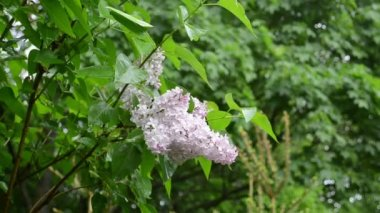 Wet lilac tree blooms closeup after rain water drops fall — Video Stock