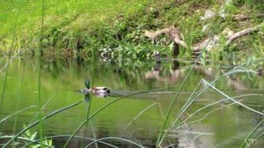 Male duck bird swim against the stream in river water. Follow — Vídeo de Stock