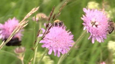 Honey bee on pink flower in summer meadow. — Stock Video