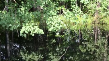 Nicely ponds aspen branch leaves flickering surface — Stock Video