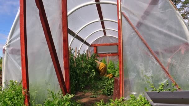 Jardinero de granjero en rodillas cuidar plantas de tomates en invernadero — Vídeo de stock