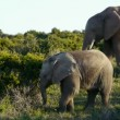 Stock Video: Elephant family with juvenile