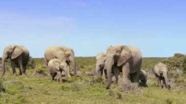 Group of elephants — Stock Video