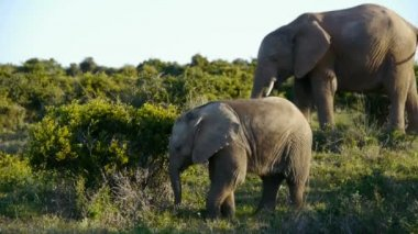 Elephant family with juvenile — Stok video