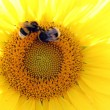 Sunflower with bumblebees — Stock Photo #30031235