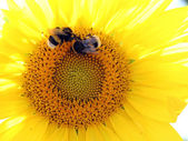 Sunflower with bumblebees — Stock Photo