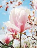 Magnolia blossom — Stock Photo