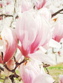 Flor de magnolia — Foto de Stock