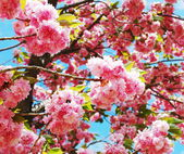 Japanese cherry — Stock Photo